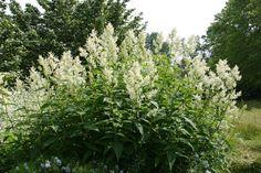 Renouée polymorphe( ce n'est pas la Barbe de bouc); des vivaces grandes comme des arbustes, non envahissante. La plante atteint déjà 1,2 m x 1,2 m de hauteur la première année et peut facilement dépasser 2,5 m de hauteur et autant de largeur sous de bonnes conditions. Ombre sèche, mi-ombre, soleil.
