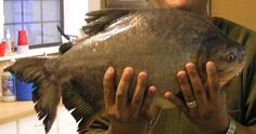 Texas Parks and Wildlife  A relative of the piranha, this 7.95 lb pacu was caught in the Concho River of San Angelo. This exotic fish was probably dumped from an aquarium.That's not only harmful to native fish, it's also against the law.