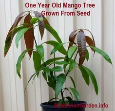 How to grow a mango tree from seed.