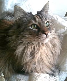 zuzu norwegian forest cat More and like OMG! get some yourself some pawtastic adorable cat shirts, cat socks, and other cat apparel by tapping the pin! Kittens Cutest, Cats And Kittens, Ragdoll Kittens, Funny Kittens, Bengal Cats, Hairless Cats, Cool Cat Trees, Cool Cats, Pretty Cats