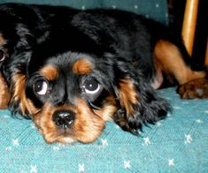 Cavalier King Spaniel, King Charles Spaniel, Cavalier King Charles, Spaniel Breeds, Spaniel Puppies, Dog Breeds, Dog Competitions, Poodle Mix, Dog Show