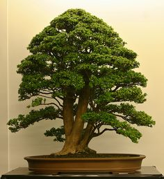 Bonsai styles are different ways of training your bonsai to grow the way you want it to. Get acquainted with these styles which are the basis of bonsai art. Mini Bonsai, Japanese Bonsai Tree, Bonsai Plants, Bonsai Garden, Plantas Bonsai, Bonsai Styles, Pot Plante, Miniature Trees, Tree Leaves