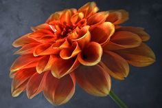 Dahlia by Claus Olsen on 500px