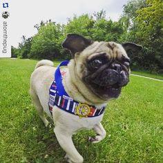 Custom made Harnesses for Atom the Pug Toronto Canada | MissFlo