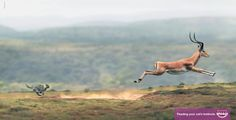 Whiskas: Big Cat-Small Cat, Antelope | Ads of the World™