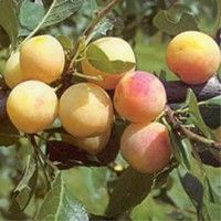 Quality Fruit Trees And Soft Fruit Plants For Sale. We have one of the largest ranges of fruit trees and soft fruit plants available to purchase online delivered to your door.