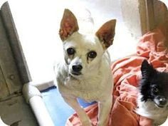 Scottsdale, AZ - Chihuahua Mix. Meet DAFFODIL, a dog for adoption. http://www.adoptapet.com/pet/12718400-scottsdale-arizona-chihuahua-mix