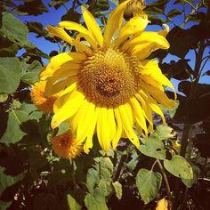 @saymedia #saycreate morning walk...sunflower and bees
