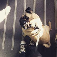 Bahnfahren #Schröder #pugulous #db #deutschebahn #streik #willheim #travel #instapug #pug #puglife #pugsofinstagram #train #sun #sweet #dog #hund #littlebuddy #look #cute #bahn #beige #mops