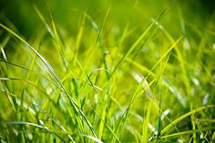 Use the spring season to take measures to control weed problems, like crabgrass, foxtail and spurge, before they take over your lawn! Us a pre-emergent herbicide to kill the weed seed as it begins to germinate. Check out our services. Plants Sunny, Lawn Lights, Water Pond, Weed Seeds, Plant Pictures, Solid Perfume, Weed Control, Nature Plants, Lawn Care