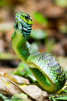 Boomslang I like animals - Snakes with cool names