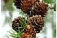 How to Grow Pine Trees From Cuttings | eHow