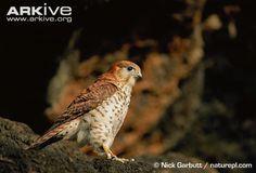 Mauritius Kestrel Bird | Mauritius kestrel (Falco punctatus)