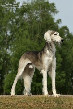 That perfect pose by *SaNNaS on deviantART. Pretty Saluki