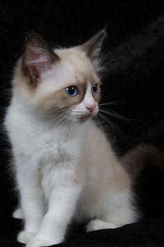 2013: Ikran A Zwollywood Cat. 9 Weeks old Ragdoll kitten, seal bicolour. Avatar litter.
