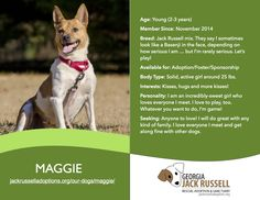 Today's l'il leprechaun rescue is Maggie!  #terrier #rescue #adoptable #jackrussell