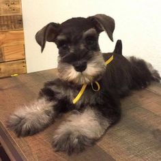 Ranked as one of the most popular dog breeds in the world, the Miniature Schnauzer is a cute little square faced furry coat. Schnauzer Grooming, Miniature Schnauzer Puppies, Schnauzer Puppy, Kittens And Puppies, Cute Dogs And Puppies, Baby Dogs, Doggies, Daisy Dog, Silly Dogs