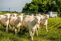 Katahdin Sheep | Arise and Shine Farm | Northwest Arkansas