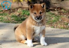 This is a spunky Shiba Inu pup ready to venture off to his new home. He is a social & spontaneous fella ready to take on anything that comes his way. Cute Dogs, Cute Babies, Shiba Inu, Puppies For Sale, Cute Baby Animals, Corgi, Corgis, Cutest Baby Animals, Cute Kids