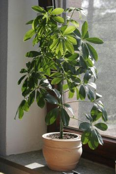 Umbrella Plants can be grown as tall or short houseplants following simple care instructions