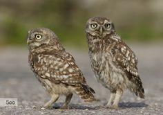 Little Owl watchful eyes by jrbirds. Please Like http://fb.me/go4photos and Follow @go4fotos Thank You. :-)