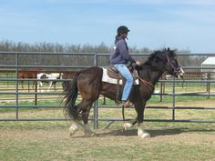 """CHF Cracker's Gabriel...2009 Geldingk Note:  Cracker jumped 54"""" to be with Gabe's dam, Toll Free and Easy, a lovely tall quarter horse mare."""