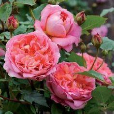 Rosa Boscobel Ct