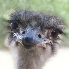 Ostrich. Funny face, don't be decieved, these big birds can be dangerous.