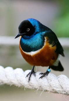 Superb Starling