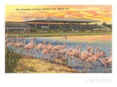 Flamingos at Hialeah, Florida Giclee Print at AllPosters.com