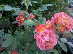 rosa acceso