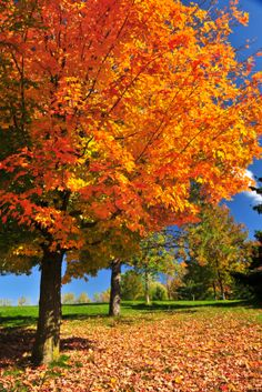 Vermont Maple Tree ~ i've always wanted to make a road trip to see the leaves change in the fall.