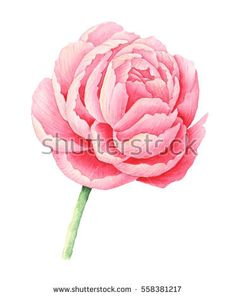 Hand painted watercolor pink peony, isolated on white background #isolated #blooming #wallpaper #decoration #bud #natural #green #floral #white #spring #petal #red #flower #botanical #botanic #summer #graphic #blossom #element #drawing #abstract #season #illustration #pink #ornamental #retro #garden #design #color #plant #watercolor #paper #art #peony #branch #nature #hand painted