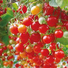 Indoor garden year round- good tomato varieties to try indoors