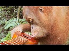 GoPro Captures Orangutan Discovering A Ukulele, And Then Hitting It (VIDEO)
