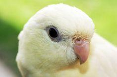 White Lineolated parakeet (linnie)