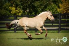 PCF Vidar is a handsome modern-type Norwegian Fjord stallion that excels in both dressage and competitive driving.
