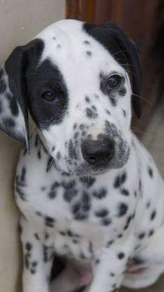 Joy , chien Dalmatien