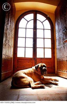 Bull Mastiff. <3