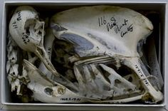 Skeleton of a pigeon studied by Charles Darwin, Natural History Museum, Tring, Hertfordshire, England, 2010