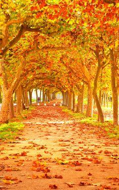 Maple alley landscape 31473 - Autumn Theme - Landscape scenery