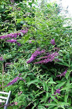 Butterfly bush (Buddleja)