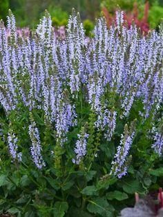 Salvia Crystal Blue -- Bluestone Perennials Landscaping Plants, Garden Plants, Gravel Garden, Meadow Sage, Sage Plant, Hummingbird Plants, Pineapple Sage, Plant Zones, Blue And Purple Flowers