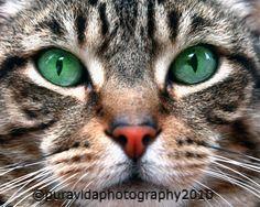 """Love the eyes! """"Kimba"""" #photography#cateyes"""