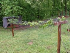 grape arbor. cover with netting when fruit sets