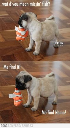 Baby pug's quest to find Nemo. How adorable is this pug?