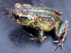 Incilius periglenes; Sapo Dorado, Golden Toad
