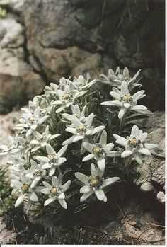 1000 Images About Edelweiss On Pinterest Austria