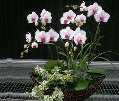 Gambar Cara Merawat Bunga Anggrek dalam POT
