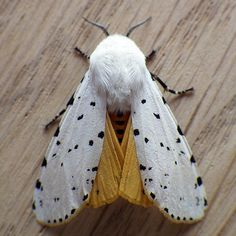 Salt Marsh Moth (Estigmene acrea) United States and Canada Cool Insects, Bugs And Insects, Beautiful Creatures, Animals Beautiful, Cute Animals, Beautiful Bugs, Beautiful Butterflies, Cute Moth, Cool Bugs